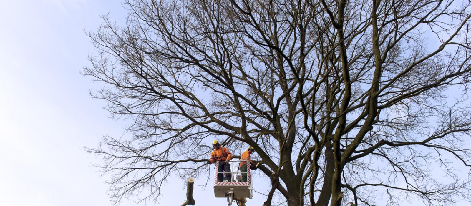 Onderhoud van laanbomen