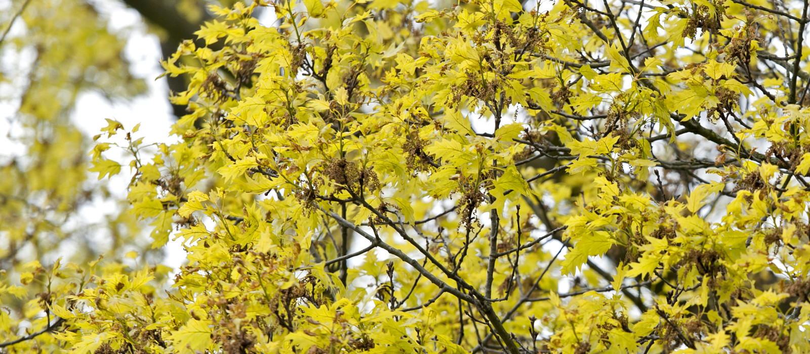 Werk aan laanbomen: waar gebeurt wat?