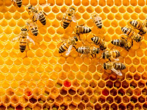 Bijennest of -zwerm ontdekt? Geef het door!