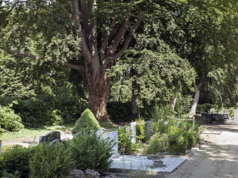 Groot onderhoud bomen gemeentelijke begraafplaatsen