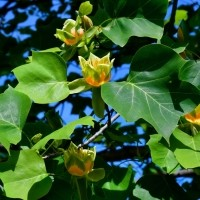 Tulpenboom vervangt beuk Gorssel