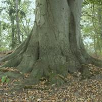 BuitenGewone boom Lochem: meerstammige beuk in Eefde