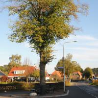 Een gezonde florerende lindeboom