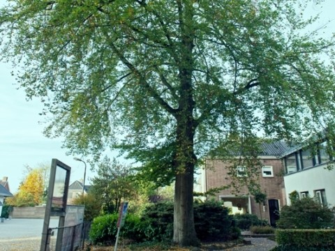 De rubriek BuitenGewone boom van deze maand