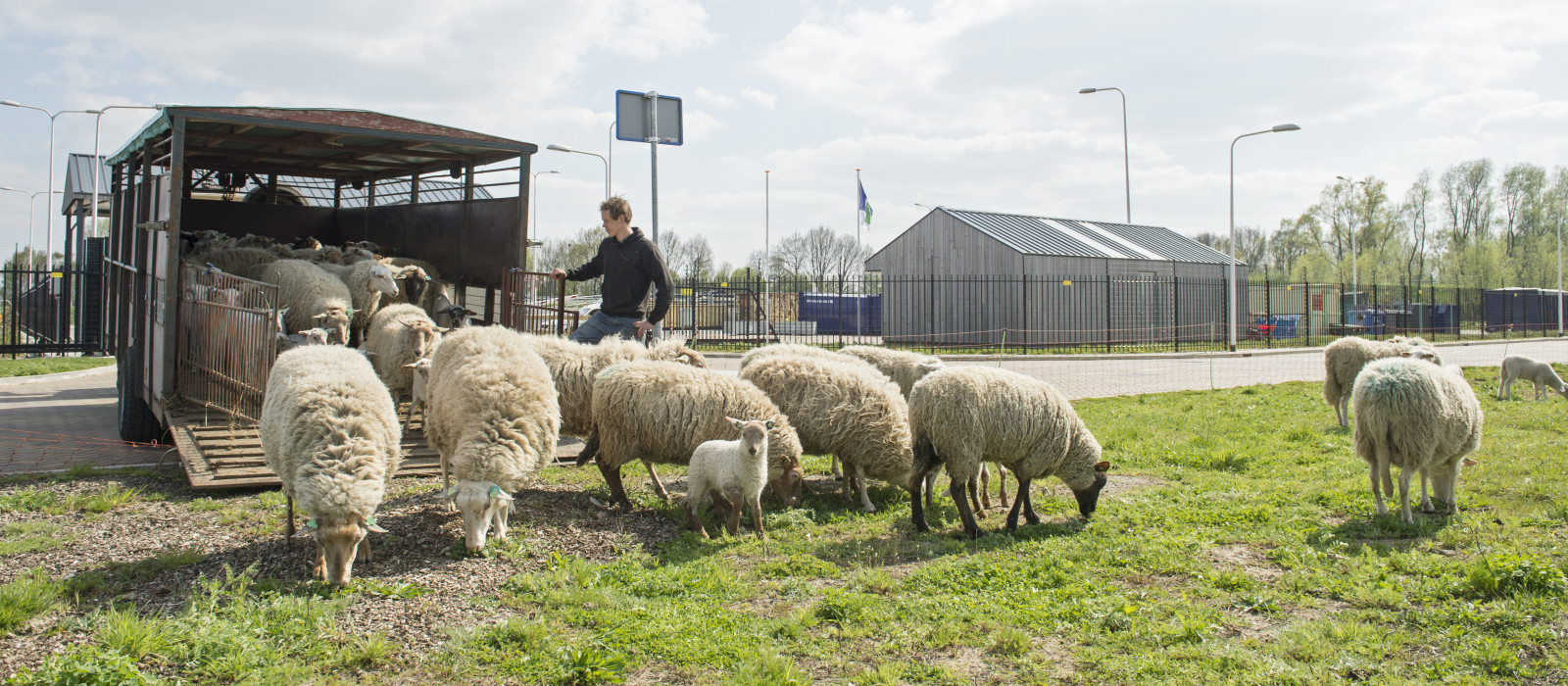 Schapen maaien het gras in Doesburg