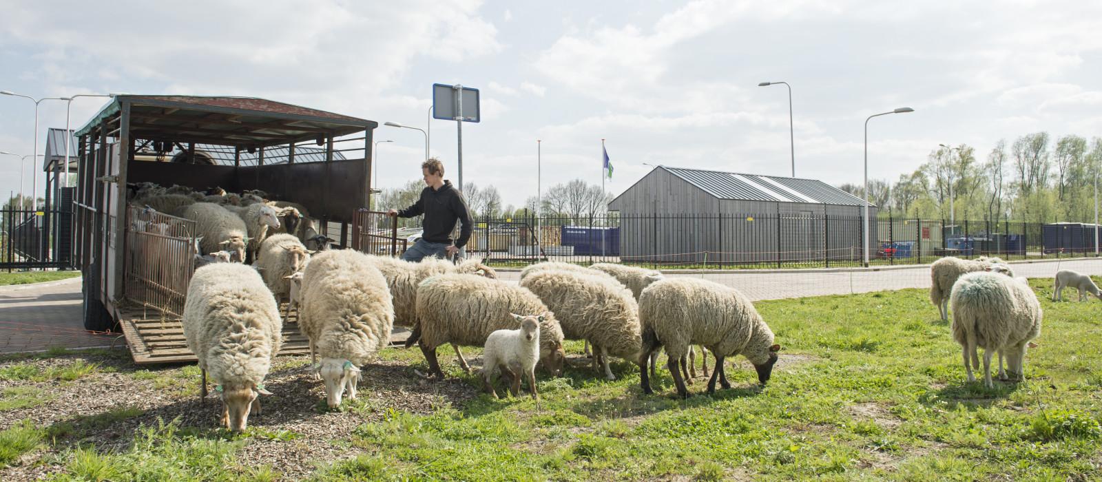 Seizoenswerk en schapen in BuitenRuimte in beeld
