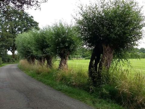 Buitengewone Bomen van deze maand: knotwilgen