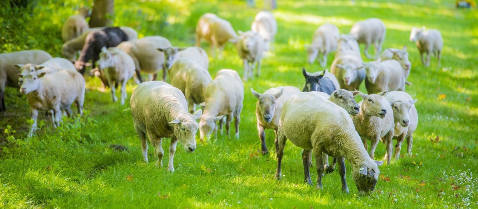 Schapen maaien het gras in Eefde en Gorssel